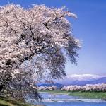千本桜(せんぼんざくら)の魅力
