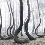 ポーランドにある謎の森(科学者が原因を特定できない