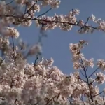 【在校生向け】卒業式で、桜の雨、蛍の光、そして君が代